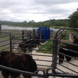 chute full of yaks small