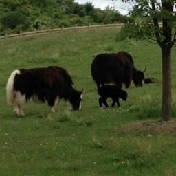 heifers  and calf small