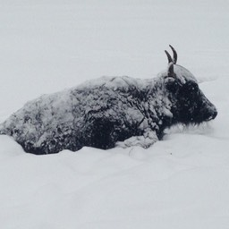snow encrusted yak small