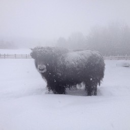 winter weather yak small
