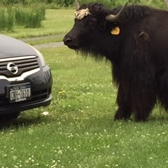 yak and car small