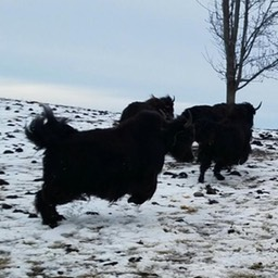yaks kicking up